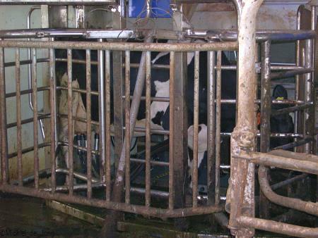 Op deze foto is te zien, dat de koeien in de boks gaan.